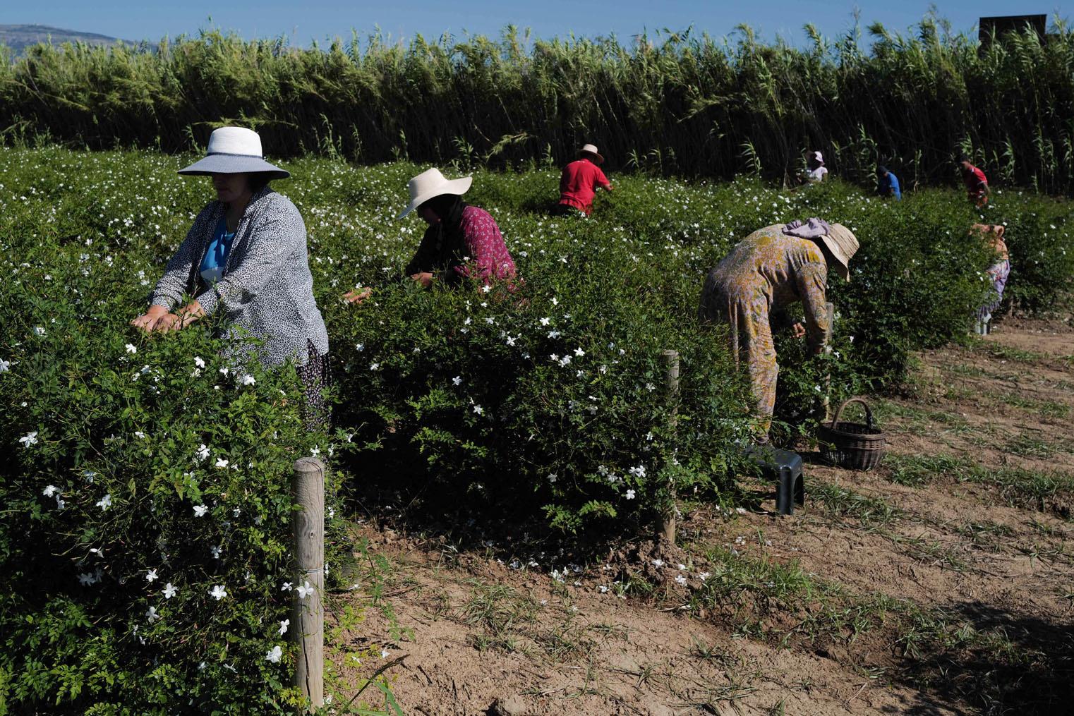 Cueillette du jasmin, utilisé pour mettre au point le n°5 de Chanel, à Pégomas, dans le sud de la France, le 26 août 2021, AFP