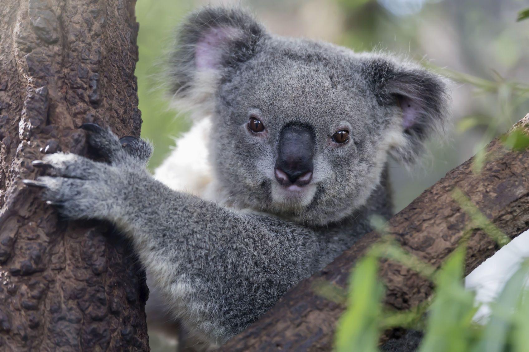 Koala, iStockphoto