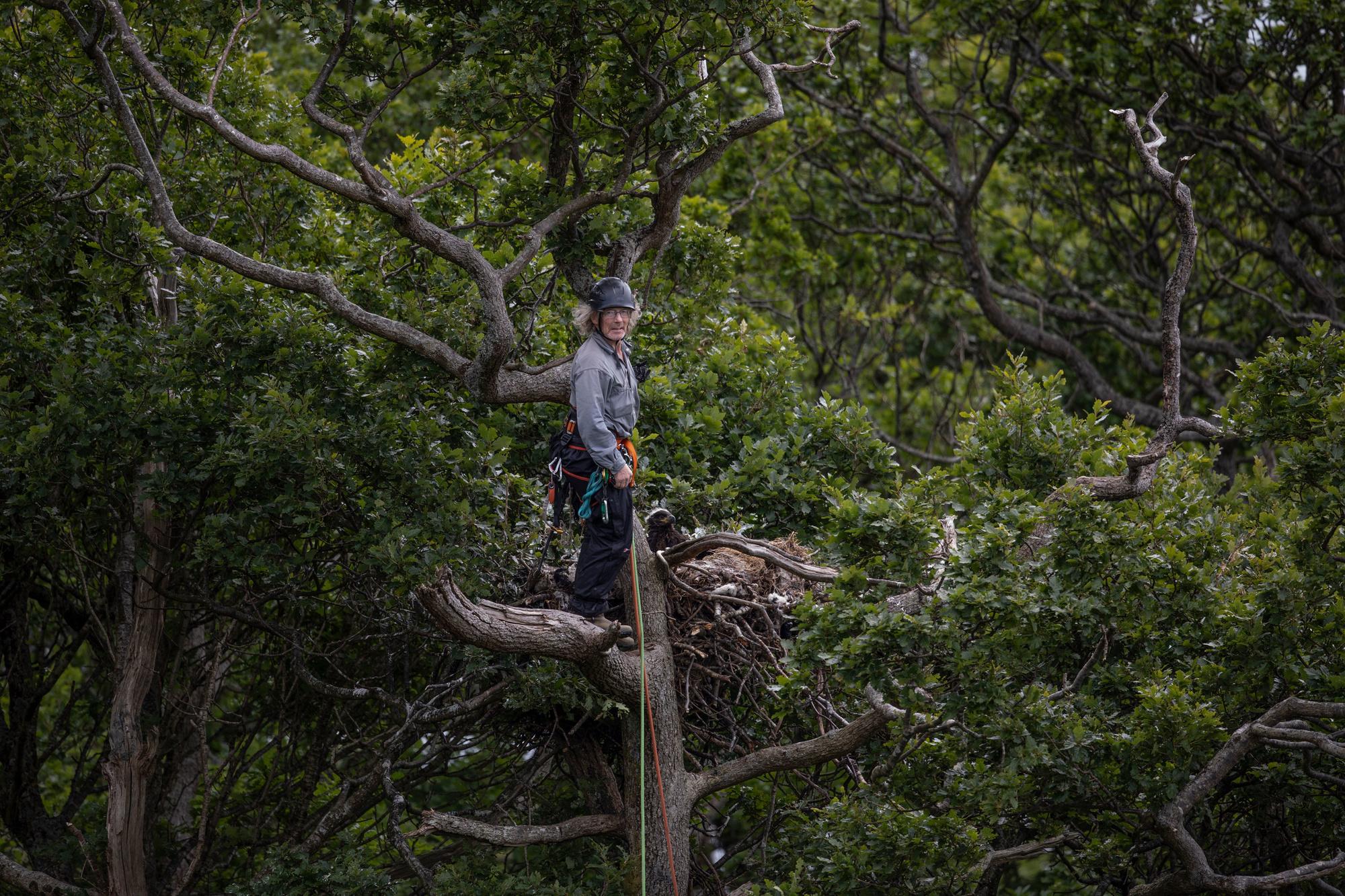 Een vrijwilliger tagt een zeearend op het eiland Mull, Getty Images