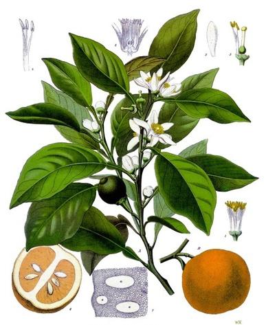 La fleur d'orange est la fleur blanche parfumée issue du bigaradier, DR