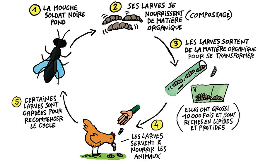 Cycle de la mouche soldat noire, Value Bugs